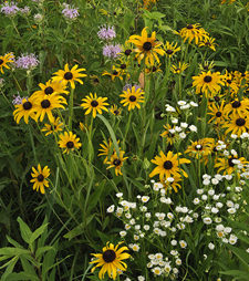 Wildflowers at Starved Rock